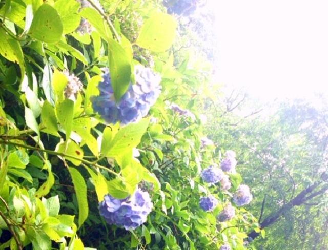 6月の日差しと紫陽花