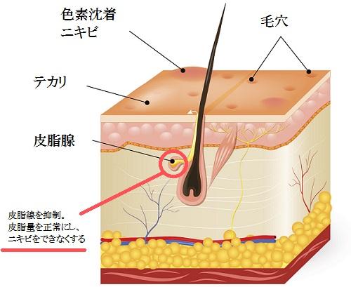 皮脂線の抑制